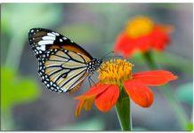 O metuljih